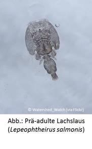 Parasiten wie die Lachslaus könnten sich weiter ausbreiten.