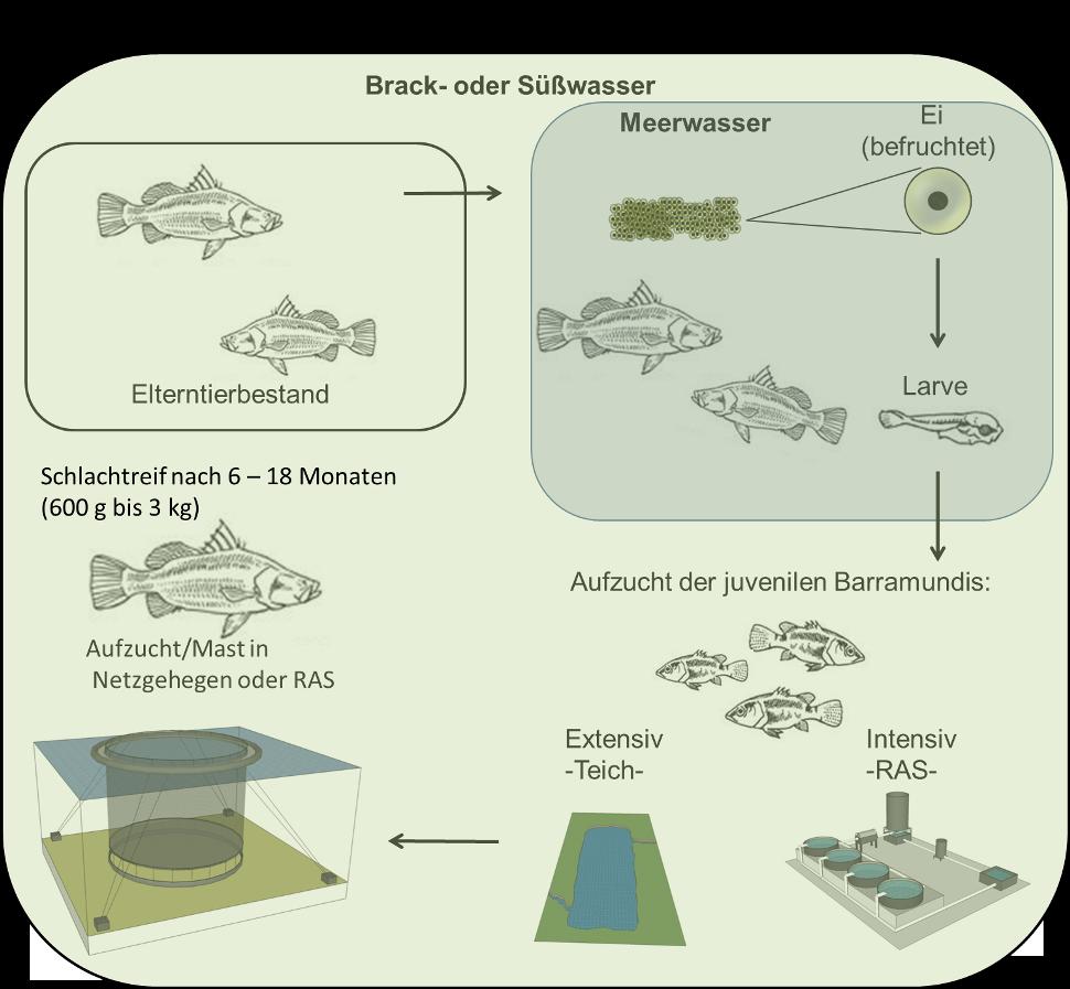 Reproduktionszyklus des Barramundi