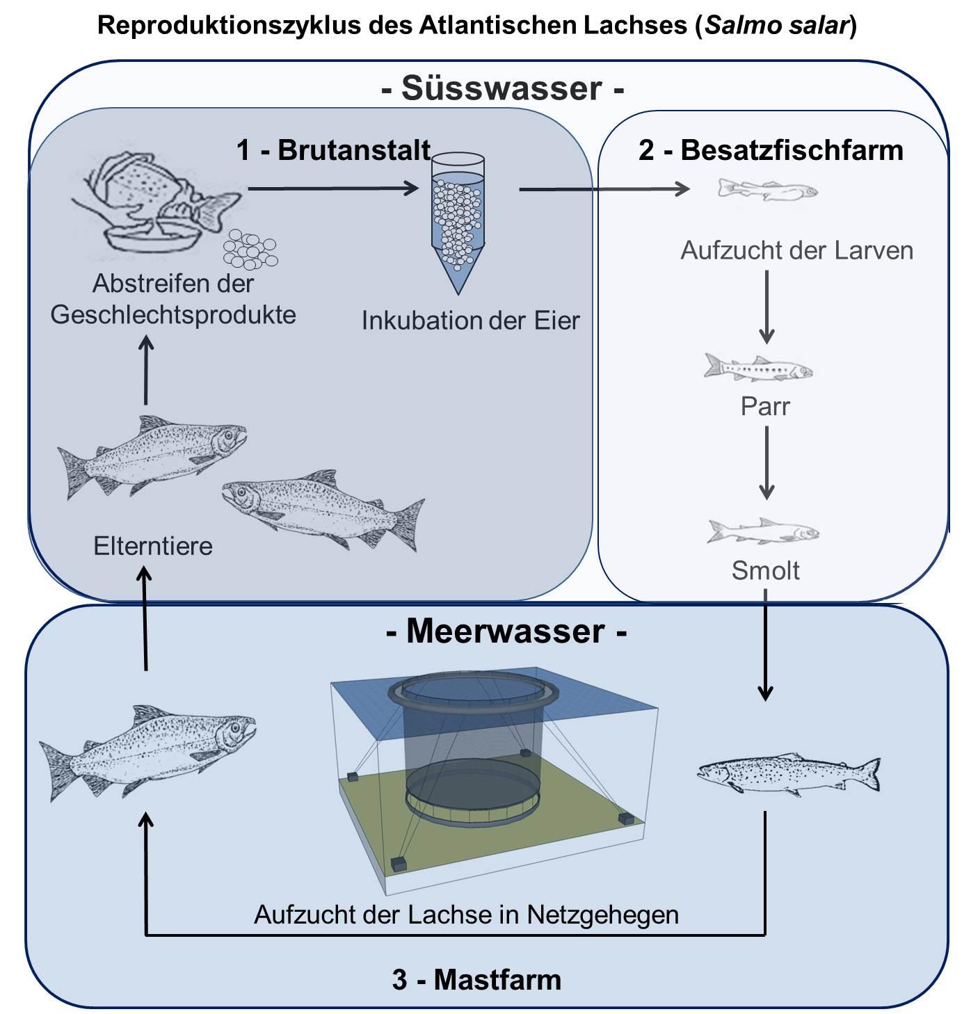 Produktionsszyklus Lachs