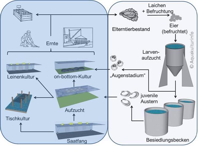 Produktionszyklus Auster