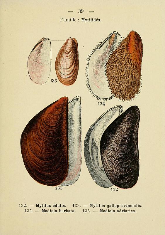 Mytilus Arten