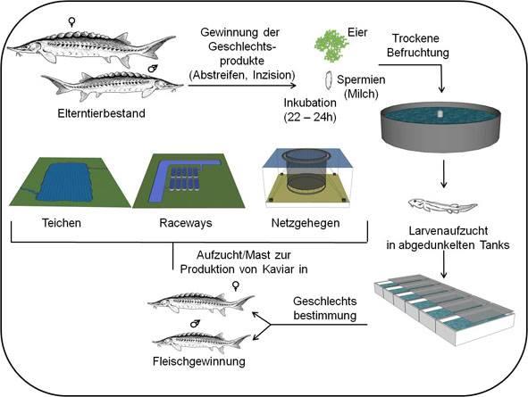 Reprodukrionszyklus Störe